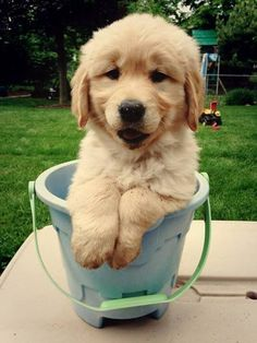 adorable golden retriever puppy in a bucket [found on tumblr] | #cute #animals