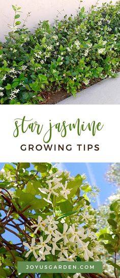 Star Jasmine has glossy foliage and sweetly scented flowers. It's versatile and can be trained in many ways. Here's how to care for and grow Star Jasmine. Plants, Hedging Plants, Planting Flowers, Jasmine Plant, Border Plants, Flower Trellis, Trees To Plant, Garden Border Plants, Trellis Plants
