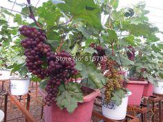 frutas de árvores bonsai - Pesquisa Google