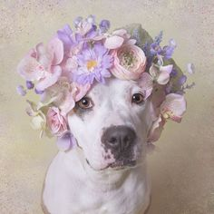 """""""Flower Power: Pit Bulls of the Revolution"""", I decided to photograph them with flower crowns, to infuse a softer energy into their image. I wish for this series to challenge the way we look at pit bulls, and ultimately the way we treat them. All the models from the series are shelter pit bulls who were waiting for adoption at the time of the photograph. Sophie Gamand, photographer."""