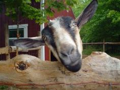 Posts about Making cheese written by bellavitafarm How To Make Cheese, Goats, Animals, Animales, Animaux, Animal, Animais, Goat