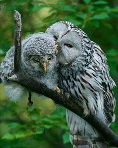 Momma showing baby owl some love...