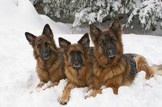 Cassie, Sheeba & Toby German Shepard Dogs