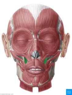 Levator Anguli Oris Muscle