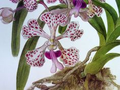 Exotic Orchid Botanical Print Vintage Orchid by GoodlookinVintage, $7.75