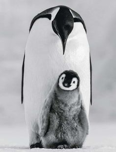 nature animals an emperor penguin chick with one of its parents Travel Photography Arctic Animals, Nature Animals, Animals And Pets, Baby Animals, Funny Animals, Cute Animals, Wildlife Nature, Wild Life, Wildlife Photography