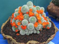 Rebutia muscula (Orange Snowball) is a small solitary or mound-forming cactus spreading out up to 6 inches (15 cm). It grows quite close...