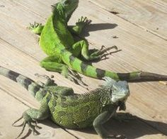 Iguanas (or Yuana as the inhabitans call them)...They like the beach too, and if you are lucky...hihi...one takes in your towel and your sunbed...  ♡