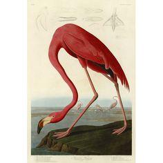 American Flamingo by Audubon Art Print