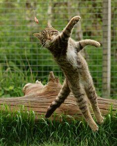 Flying Wildcat ~ Scottish wildcat