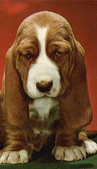Аватар вконтакте Щенок Бассет хаунд / Basset hound всегда смотрит с грустью (© 16061984), добавлено: 22.10.2014 15:57