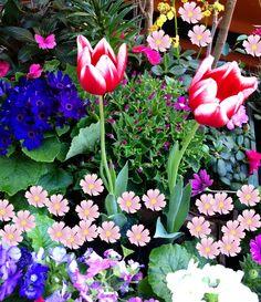 Tulipanes de vivero