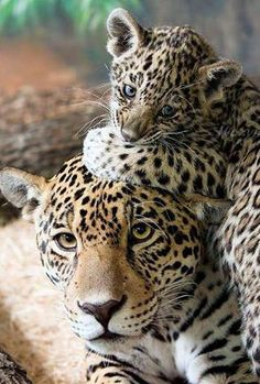 Sweet photo of Leopards love