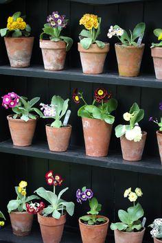 Auriculas - easier to look at than to grow Back Gardens, Small Gardens, Plant Theatre, Primula Auricula, Garden Nursery, Primroses, Garden Shop, Dream Garden, Plant Shelves