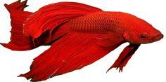 imagem mais belo peixe beta de peixes beta