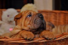 Katarzyna Andruszewska _ beautiful sharpei puppy #sharpei #sharpeilovers #dogwithwrinkles