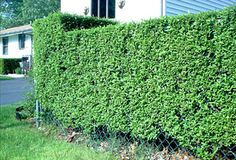 10 Ways to Landscape Your Property Lines: Hedges: Green Walls