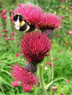 Bumble Bee On A Scottish Thistle Scottish Flowers, Scottish Thistle, Beautiful Bugs, Beautiful Flowers, Humble Bee, Country Cottage Garden, I Love Bees, Thistle Flower, Bee Happy