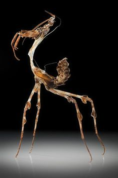 The exoskeleton of a Zoolea - a type of South American Praying Mantis
