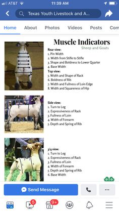 Livestock Judging, Showing Livestock, Cattle Farming, Goat Farming, Show Cattle Barn, Katahdin Sheep, Show Cows, Mini Goats, Raising Cattle
