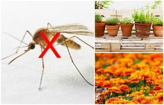 8 растений от комаров, которые нужно посадить на даче или подоконнике прямо сейчас