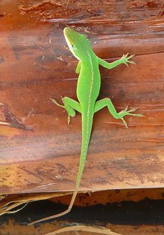 Green gecko on the Big Island of Hawaii