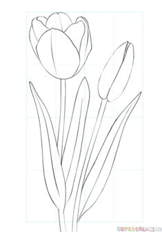 Flower sketches: How to draw a tulip