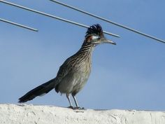 Our state bird, the roadrunner. They can fly, but they really DO run.