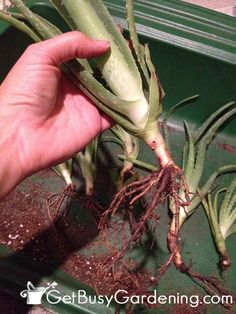Aloe plants are very easy to propagate, and now is a great time to do it. Here's how! | GetBusyGardening.com