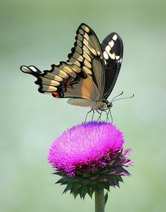 Swallow tail butterfly on thistle flower