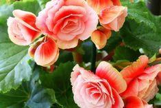 Begonia als kamerplant - Begonia's verzorgen - Begonia's verpotten Begonia, Free Hd Wallpapers, Garden Pool, Wisteria, Yard, Canning, Rose, Green, Plants