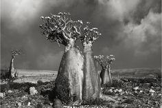 Quando as árvores mais antigas do mundo são retratos do tempo   P3