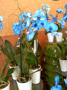 Google Image Result for http://3.bp.blogspot.com/-9Xo9wKMcxPs/TZJ9Sd6lR3I/AAAAAAAAAx0/NqQqZ5EVK1Q/s1600/Blue%2BOrchids.jpg
