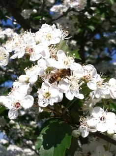 Lots of bees on the hawthorn tree!