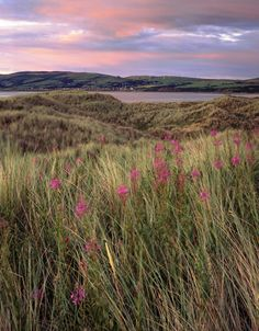 Grass and willow herb in the evening twilight at Sandscale Haws, looking across the Duddon estuary towards wind farms in the distance Wind Farms, Healthy Herbs, Twilight, Distance, Grass, Pots, Vineyard, Mountains, Living Room