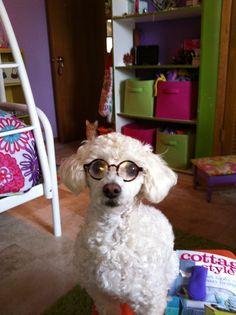 Poodles with glasses