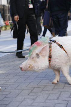 豚 散歩 浅草 (Pig, Walk, Asakusa)