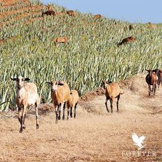Look at these on Forever´s plantations in Texas and the Dominican Republic. The sheep and goats provide…