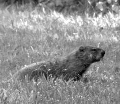 No other animal in the history of weather prediction has impacted the world more profoundly than Punxsutawney Phil. http://sunnyscope.com/punxsutawney-phil-weather-forecasting-legend/