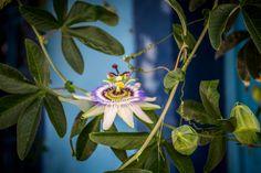Passion flower o passiflora