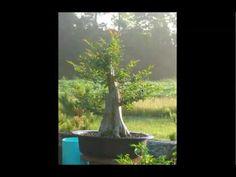 Large Crape Myrtle made into bonsai