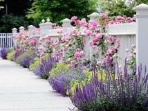 Plant selection: •Climbing 'Mary Rose' provides height and fragrance. •Billowing mounds of golden creeping Jenny (Lysimachia nummularia 'Aurea') and May Night salvia (Salvia nemorosa 'May Night') form the lower tier. •These perennials are tolerant of low water, poor soil and hot sun.