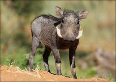 Baby Warthog.  I can't even explain why I love this so much.