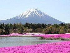 Mount Fuji: Held between mid April to early June near Lake Motosuko, the Fuji Shibazakura Festival is one of the best places to see pink moss (shibazakura).