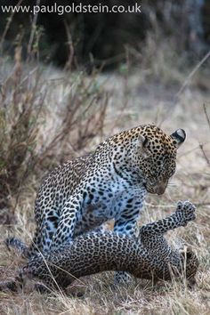 A leopard cub plays with its mum in Kenya