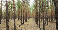 Exclusive stock photography against subscription Spring Forest, Autumn Forest, Conifer Trees, Forest Background, Detailed Image, Serenity, Pine, Nature, Photography
