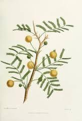 CASSIE FLOWER-Acacia-farnesiana