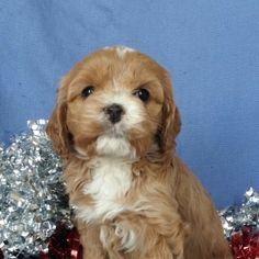 Princess is a Female Cockapoo puppy for sale at PuppySpot. Call us today to learn more (reference 627664 when you call). Princess Ages, Cockapoo Puppies For Sale, Puppy Facts, Puppy Finder, Puppy Mills, Cuddling, Dreaming Of You, Best Gifts, Dogs