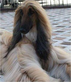 afghan hound fancier   Fotos de cachorros galgo afganos listos para entregar afghan hound en