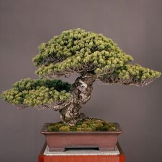Japanese white pine bonsai work titled ''Third Shogun,'' estimated to be about 550 years old. Measuring about 81 centimeters in height, it is planted in a ''shudei'' unglazed pot.